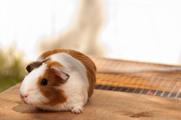 Guinea Pig in the House